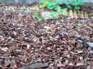 Dead leaves and mulch