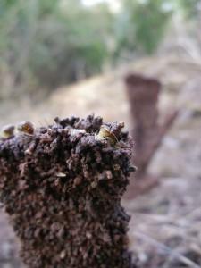 Subterranean termites at work