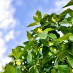 Orange terpenes (cis-nerol and d-limonene) termite treatment