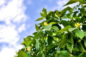 Citrus flowers contain orange terpenes for termite treatment