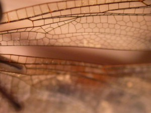 Natural geometrics of termite wing