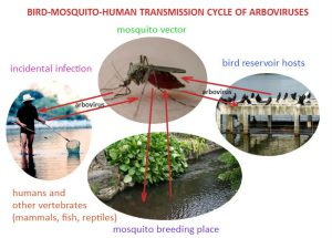 Arbovirus transmission cycle
