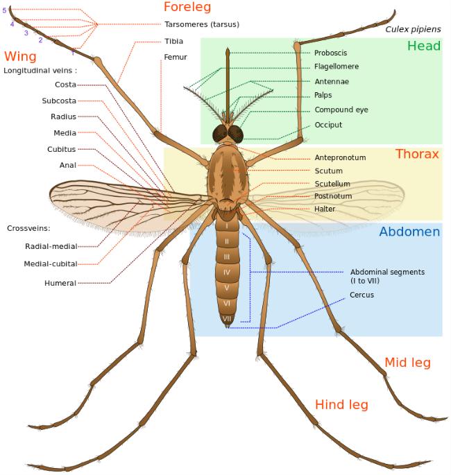 Mosquito adult anatomy