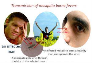 Transmission of mosquito-borne viruses