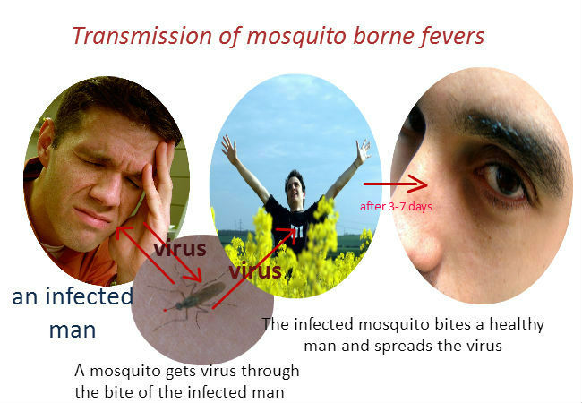 Transmission of mosquito-borne viruses