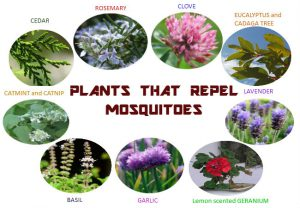 Plants mosquito repellents for natural mosquito spray for yard