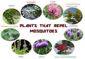 backyard mosquito repellent plants