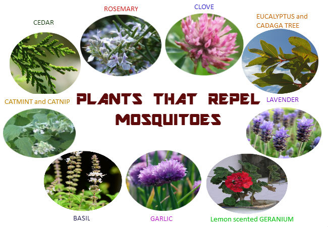 backyard mosquito repellent plants