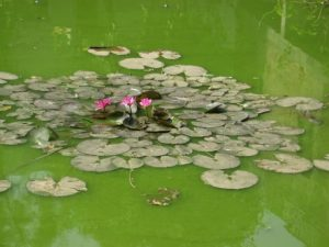 stagnant water to be treated with garlic mosquito repellent diy