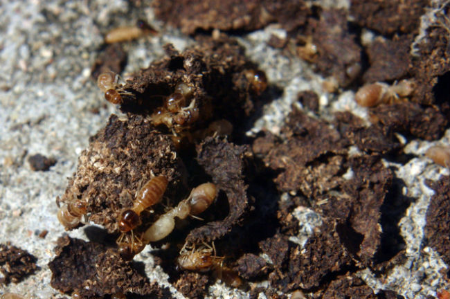 termite baiting systems are effective for subterraneans