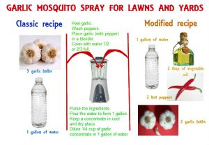 DIY garlic mosquito spray for lawns and yards