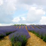 Does Lavender Oil repel Mosquitoes?