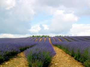 Field of lavender keeps mosquitoes away
