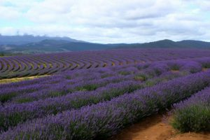 Lavender for mosquitoes spray