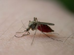 Asian tiger mosquito at the end of a meal