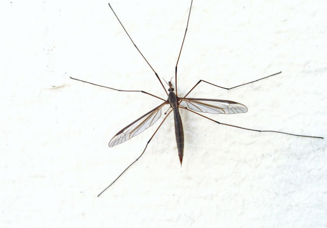 Crane fly that resembles large mosquito