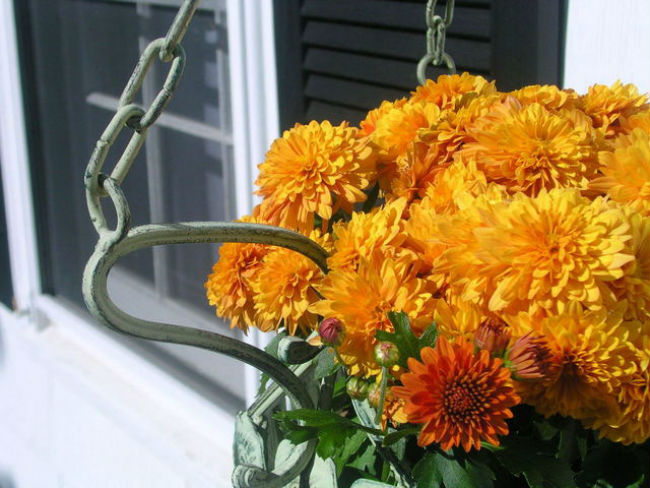 Chrysanthemums contain oils to repel mosquitoes