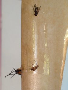 Flypaper for fly and mosquito control