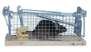 Cage trap for rat removal