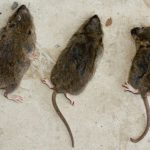 Getting rid of rats without professional help