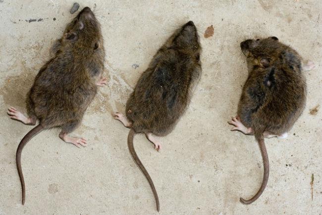 Killing rats