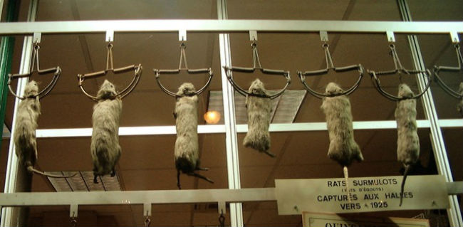 Norway rats captured by traps