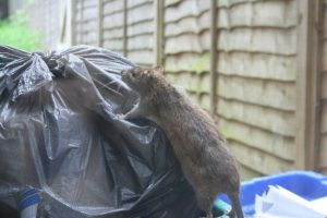 Rat in a trash container