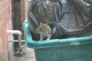 Rat problem in urban localities