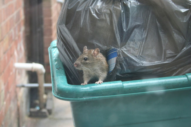 Rat problem in urban localities