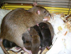 Newborn Norway rats