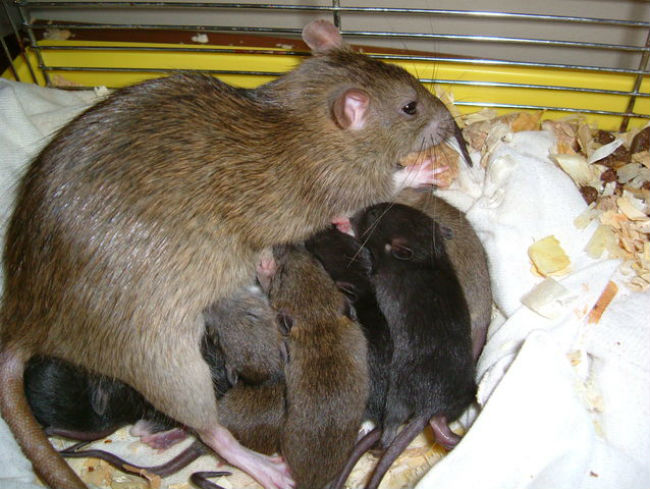 Newborn Norway rats