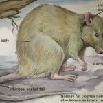 Norway rat is the most common species in human settlements worldwide