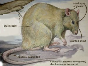 Norway rat description