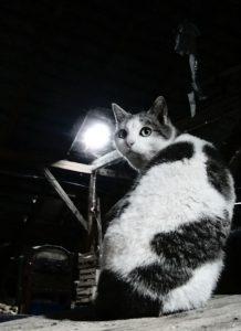 Attic cat waits to kill roof rats