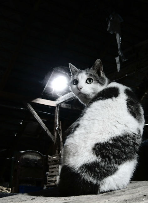 Attic cat waits to kill roof rats