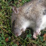 How to use rat poisoning to get rid of urban rodents