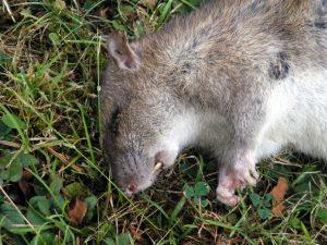 Poisoned rat