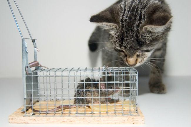 Live cage rattrap