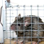 How to get rid of rats using live-catch cage traps