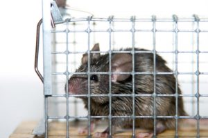 Poor rodent in rat cage trap